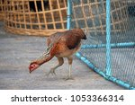 Small photo of Brown hen standing on the floor and rummage for food beside chicken coop. It is the female cock.