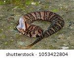 Small photo of Cottonmouth Snake (Agkistrodon piscivorus)