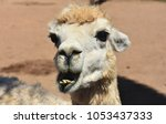 adorable white alpaca with his... | Shutterstock . vector #1053437333