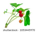 strawberry plant with leaves ... | Shutterstock . vector #1053445970