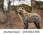 the spotted hyena  crocuta... | Shutterstock . vector #1053461540