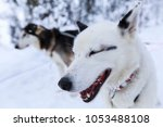 Small photo of Husky sledge dog taking a break in Swedish Lapland