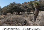 Small photo of Scrub Oak, Pine and Yucca abound in the back country of Grant county, New Mexico.