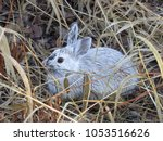 Snowshoe Hare In The Grass