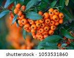 Firethorn  Pyracantha Coccinea...