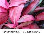 ti plant  cordyline fruticosa ... | Shutterstock . vector #1053563549