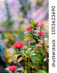 Small photo of Jungle Geranium aka Flame of the Woods or Jungle Flame, Ixora coccinea, Rubiaceae. Asia