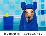 Stock photo jack russell dog in a bathtub not so amused about that with yellow plastic duck and towel 1053637466