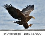 Stock photo adult white tailed eagle in flight blue sky background scientific name haliaeetus albicilla 1053737000