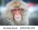 Snow Monkey  Nagano  Japan.