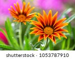 close up of gazania flower or... | Shutterstock . vector #1053787910