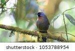 silver eared laughingthrush...   Shutterstock . vector #1053788954