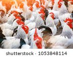 Small photo of Herd of white roosters with red caruncle on the farm.