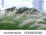 Small photo of alang-alang, blady grass