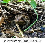 fowler s toad in north carolina ... | Shutterstock . vector #1053857633