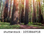 Ancient Redwood In The Forest....