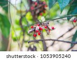 sandalwood tree.the seeds are... | Shutterstock . vector #1053905240