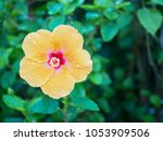 Orange Flower  Hibiscus  With...