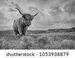 Highland Cow  Scotland