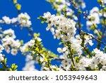 flowering cherry against a blue ... | Shutterstock . vector #1053949643