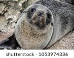 baby fur seal at the rocks of... | Shutterstock . vector #1053974336