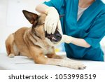 gloved veterinarian trying to... | Shutterstock . vector #1053998519