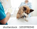 scared sick dog keeping his paw ... | Shutterstock . vector #1053998540