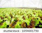 fresh lettuce leaves with...   Shutterstock . vector #1054001750