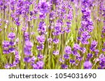 lavender bushes closeup on...   Shutterstock . vector #1054031690