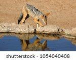 a black backed jackal  canis... | Shutterstock . vector #1054040408