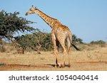 a southern giraffe  giraffa... | Shutterstock . vector #1054040414