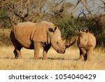 white rhinoceros  ceratotherium ... | Shutterstock . vector #1054040429