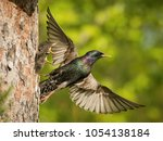 the common starling  sturnus... | Shutterstock . vector #1054138184