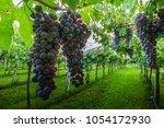grape harvest italy | Shutterstock . vector #1054172930