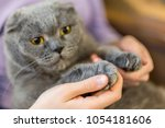 close up fluffy cat's paw in... | Shutterstock . vector #1054181606