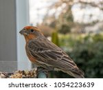 A Male House Finch Looks Down...
