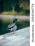 Small photo of grey black green duck quack is walking on the wooden bridge on the Lake Tahoe