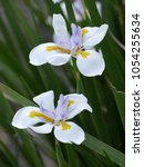 Small photo of The large wild iris or fairy iris is a rhizomatous perennial plant with long, rigid, sword-like green leaves belonging to the Iridaceae family. They are native to South Africa.