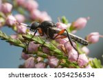 Small photo of Macro photo of a march fly, Bibio on heather