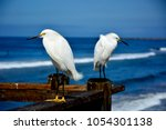 a snowy egret off the coast on... | Shutterstock . vector #1054301138