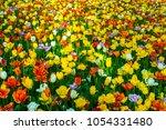 focus colorful tulips in garden ... | Shutterstock . vector #1054331480