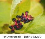 Phytolacca   Pokeweeds ...