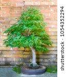 bonsai maple tree in front of... | Shutterstock . vector #1054352294