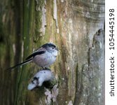 Small photo of Beautiful portrait of Long Tailed Tit Aegithalos Caudatus bird in sunshine in woodland setting