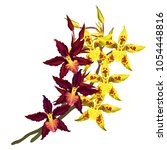 cambria orchids with dark red... | Shutterstock .eps vector #1054448816