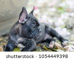 baby french bulldog puppy sit... | Shutterstock . vector #1054449398
