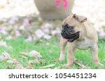baby french bulldog puppy stand ... | Shutterstock . vector #1054451234