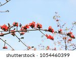 blossoming bombax ceiba tree or ... | Shutterstock . vector #1054460399