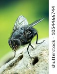 Small photo of Focus Stacking - Common Blue Bottle Fly, Bluebottle Fly, Flies