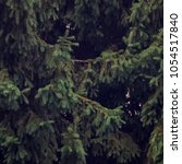 Small photo of Branches of coniferous tree